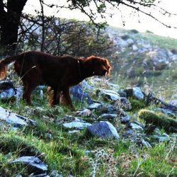 Ιρλανδικό σέττερ σε κυνηγετικό τοπίο